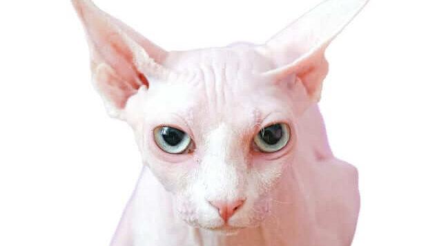 Sphynx kat met blauwe ogen (foto door Anna Shvets van Pexels)